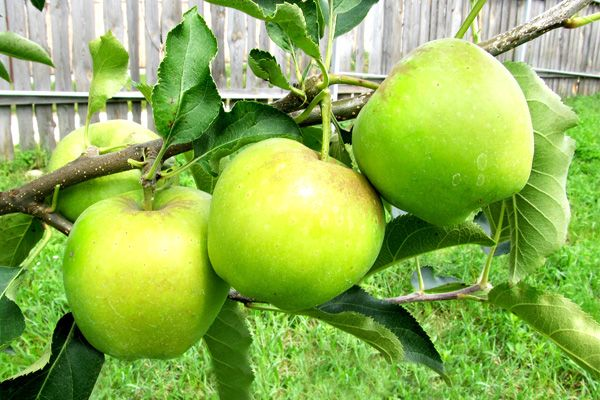 яблуня Мутсу