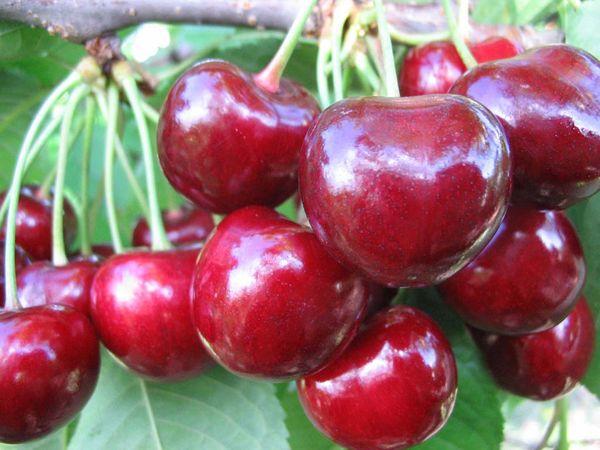 Високоврожайний сорт черешні «Крупноплідна»