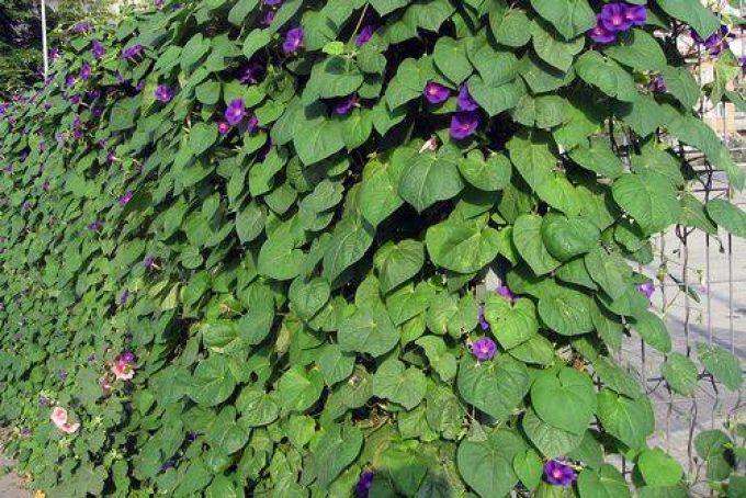 Для огорожі з сітки рабиці можна використовувати в'юнкі рослини, наприклад, іпомею