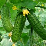 як правильно виростити огірки у відкритому грунті