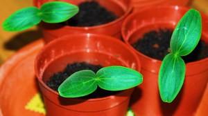 Підготовка насіння огірків