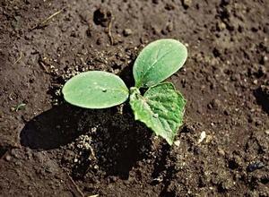 Посадка насіння огірків у відкритий ґрунт