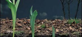 Посадка тюльпанів навесні в грунт — покрокова інструкція