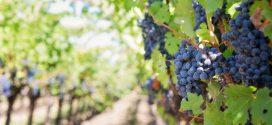 Посадка винограду: вибір сезону, підготовка живців, догляд
