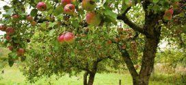 Посадка саджанців яблуні навесні: як це зробити правильно?
