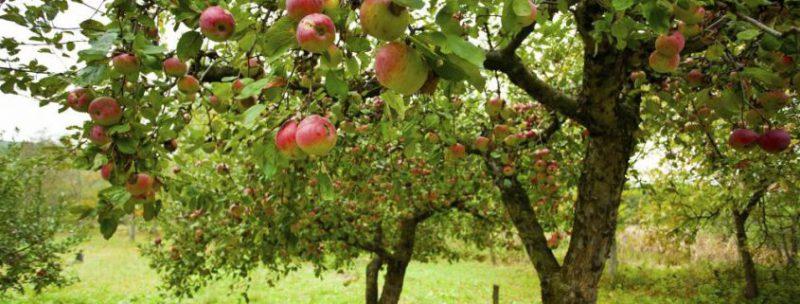 Посадка саджанців яблуні навесні