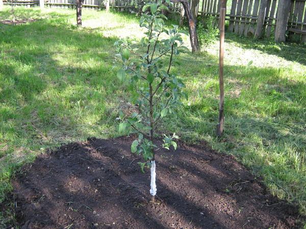 догляд за посадженими саджанців яблунь