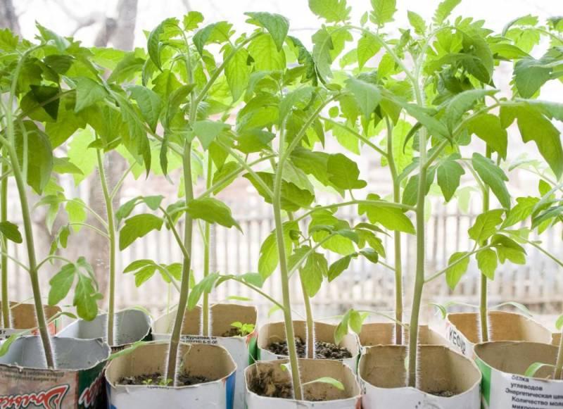 Як виростити розсаду томатів
