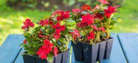 Коли сіяти квіти на розсаду в 2017 році за місячним календарем?
