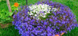 Низькорослі бордюрні квіти однорічні і багаторічні, фото і назва