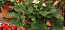 Як вирощувати полуницю протягом року в домашніх умовах — інструкція