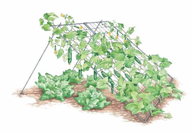 Вирощування огірків на шпалері