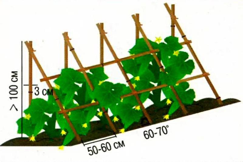 Огурцы на шпалере выращивание в открытом грунте 15