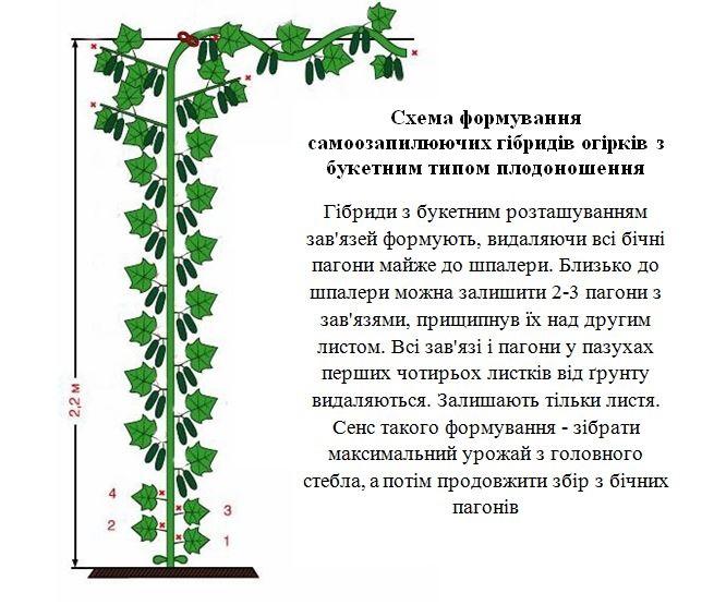 Схема формування куща огірків при вирощуванні на шпалері
