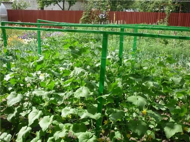 Технологія вирощування огірків на шпалері
