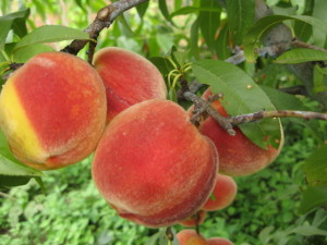 Як обрізати персик навесні