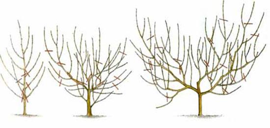 Варіант обрізки персика для формування чашовидної крони
