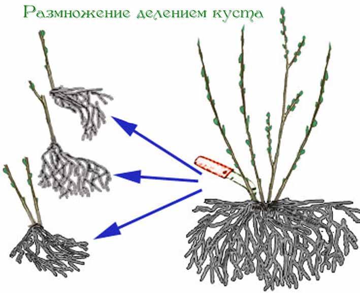 размножение аквилегии делением куста