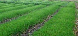 Сидерати: переваги, строки посіву, популярні сидерати
