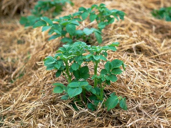 Як вирощувати картоплю під соломою