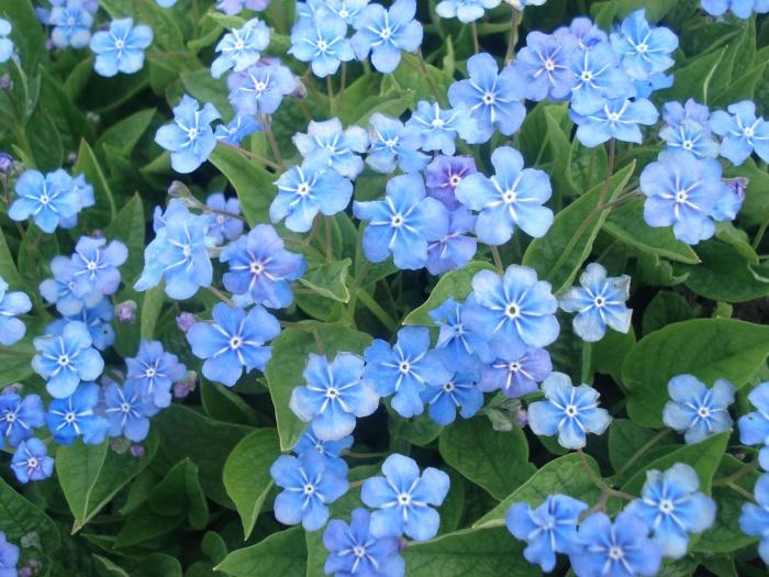 20 голубых цветов для вашего сада - Клуб любителей дачи