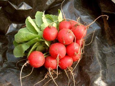 Вирощування редиски в захищеному грунті або вітаміни цілий рік