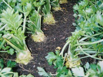 Сельдерей корневой егор выращивание из семян 63