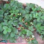 Суниця ампельна в домашніх умовах за порадами садівників