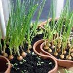 вирощування цибулі на підвіконні