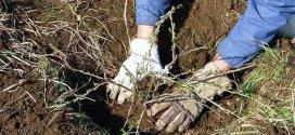 Пересадка аґрусу навесні без зниження його врожайності