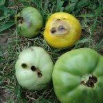 Шкідники томатів та ефективні методи боротьби