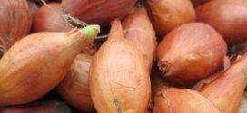 Як вирощується цибуля-чорнушка на розсаду – терміни і правила посіву