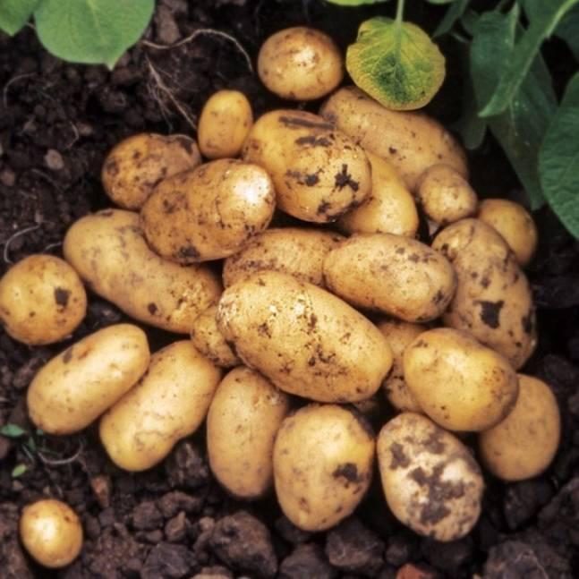 Врожайність картоплі – як її підвищити