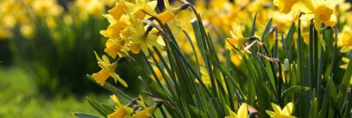 посадка нарцисів весною