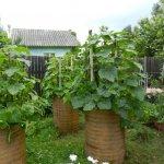 Вирощування огірків у бочці