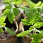Розсада томатів. Строки садіння, вирощування, висадка