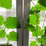 виростити огірки на підвіконні чи балконі взимку