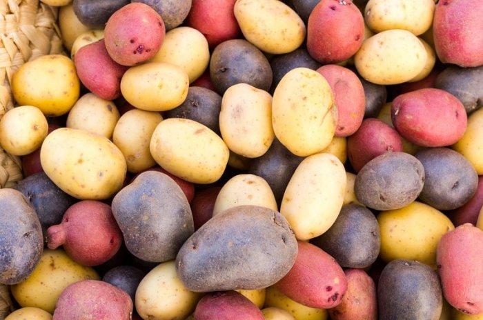Нові сорти картоплі в Україні