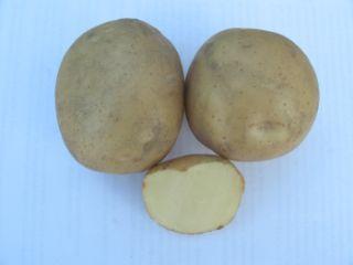 Картопля сорту Воларе