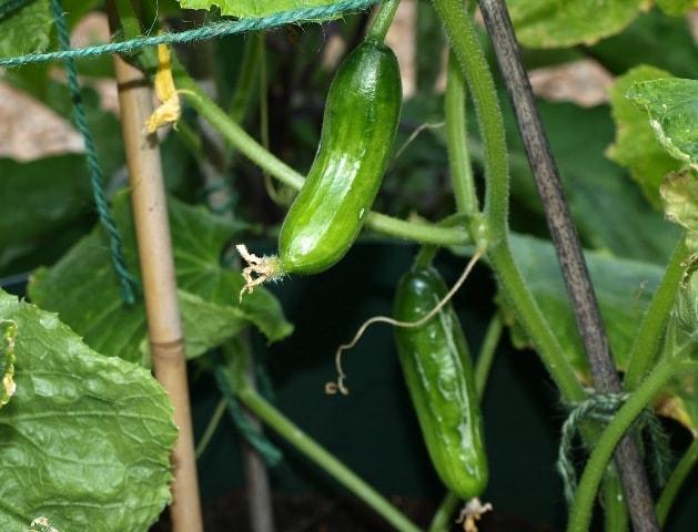 Як збільшити урожай огірків