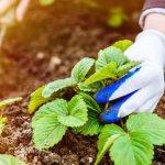 Як доглядати за садовою суницею навесні