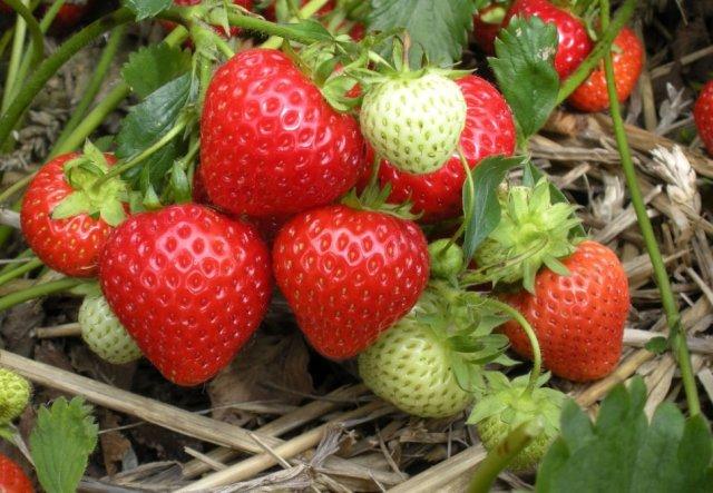Садова суниця: догляд за правилами