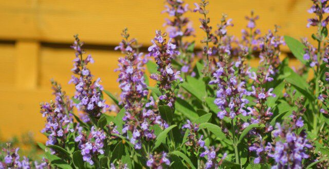 Шавлія лікарська – трава благополуччя та здоров'я