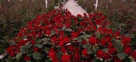 Основні правила вирощування троянд в теплиці