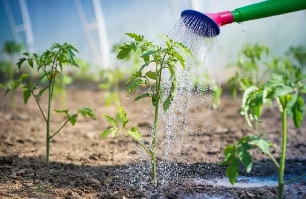 Коли висаджувати помідори у відкритий грунт