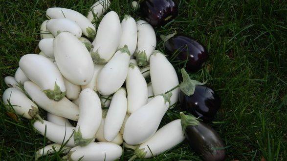 Чим підживити баклажани: всі тонкощі вирощування