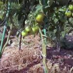 Як збільшити урожай томатів: перевірений спосіб