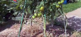 Як збільшити урожай томатів