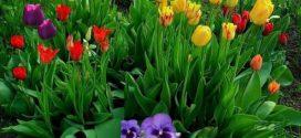 Тюльпаны – великолепие весны!