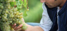 Вирощуємо виноград: найпопулярніші види і сорти в Україні